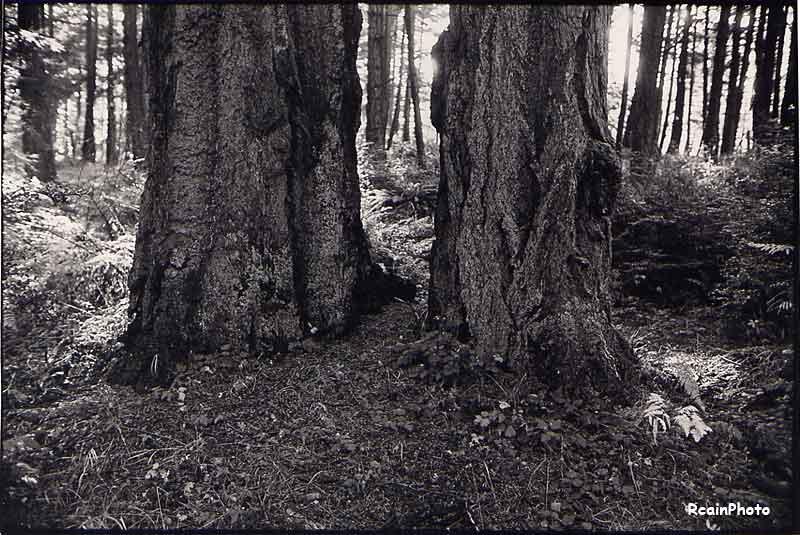 old-fir