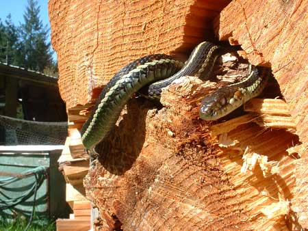 Snake in the woodpile