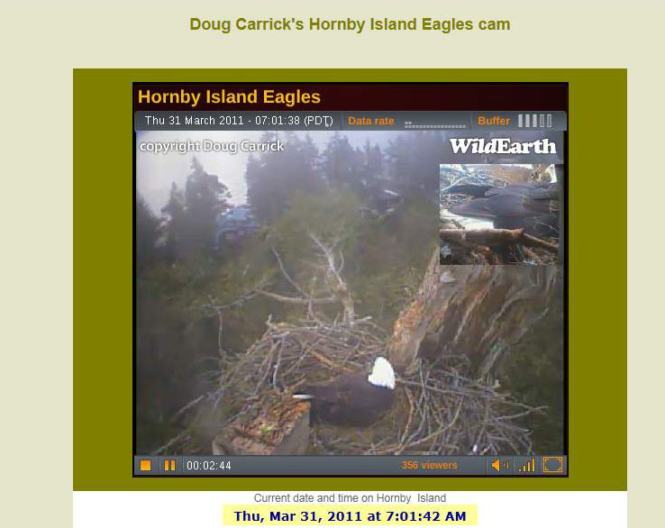 Webcam of nesting eagles hornby island