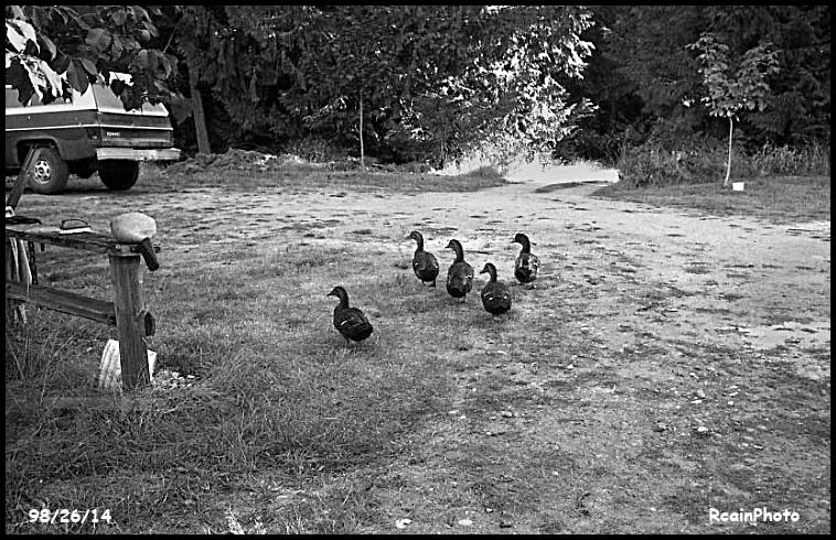 982614-ducks