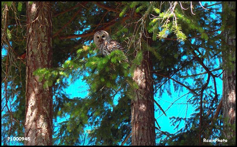 P1000945-owl