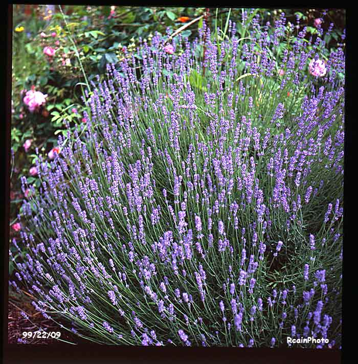 992209-garden-lavendula_vera