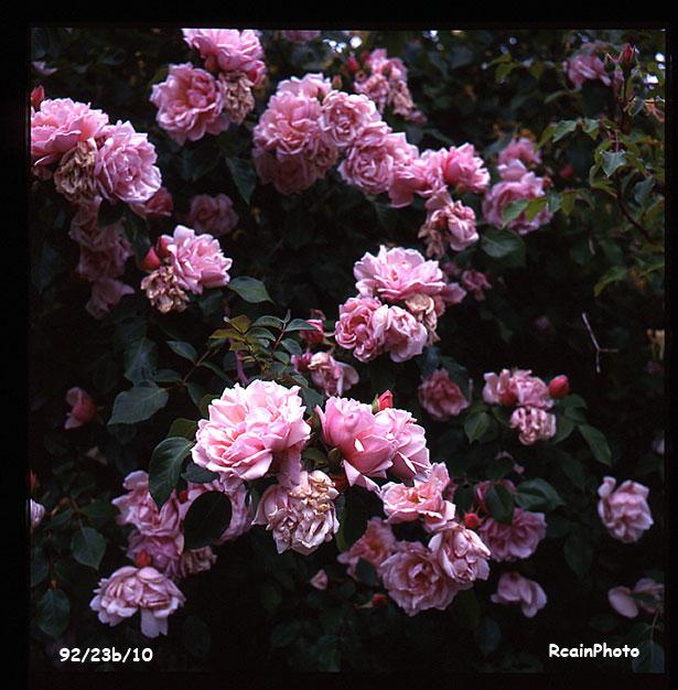 9923b10-garden-rose-dr_van_fleet