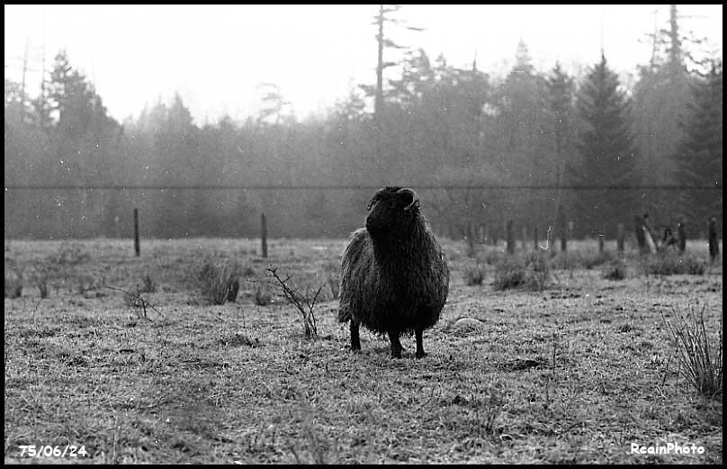 750624-sheep
