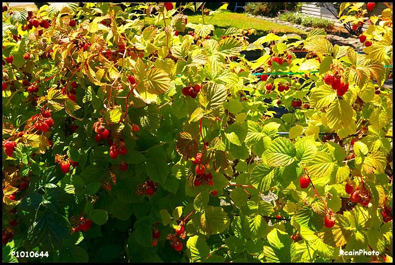 P1010644-rasberries