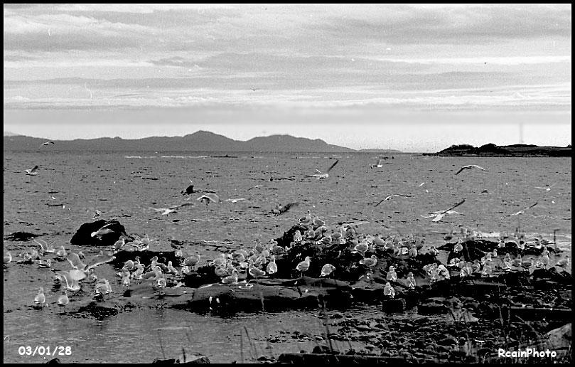 030128-heliwell-gulls