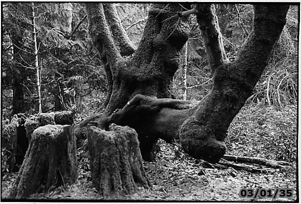 Maple Tree Helliwell