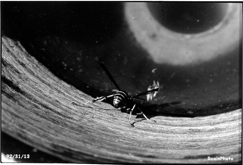 923113-wasp